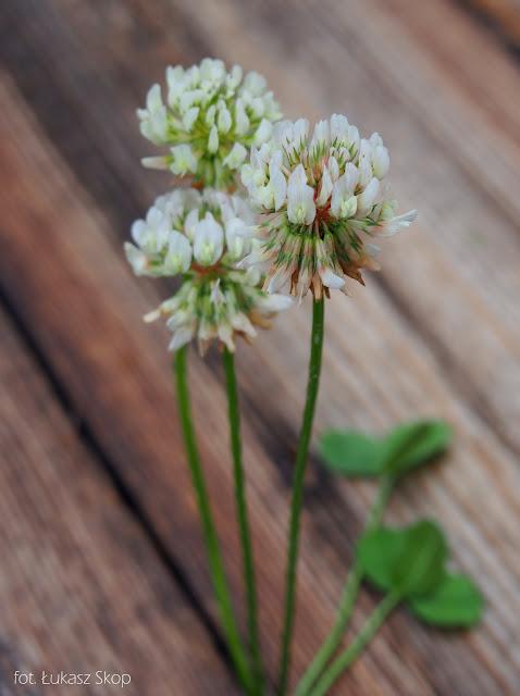 jadalny kwiat koniczyny