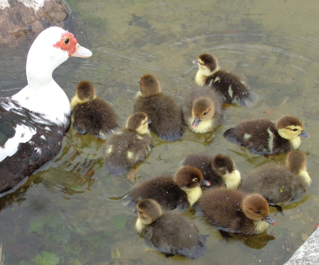 Muscovy mom and 11 chicks