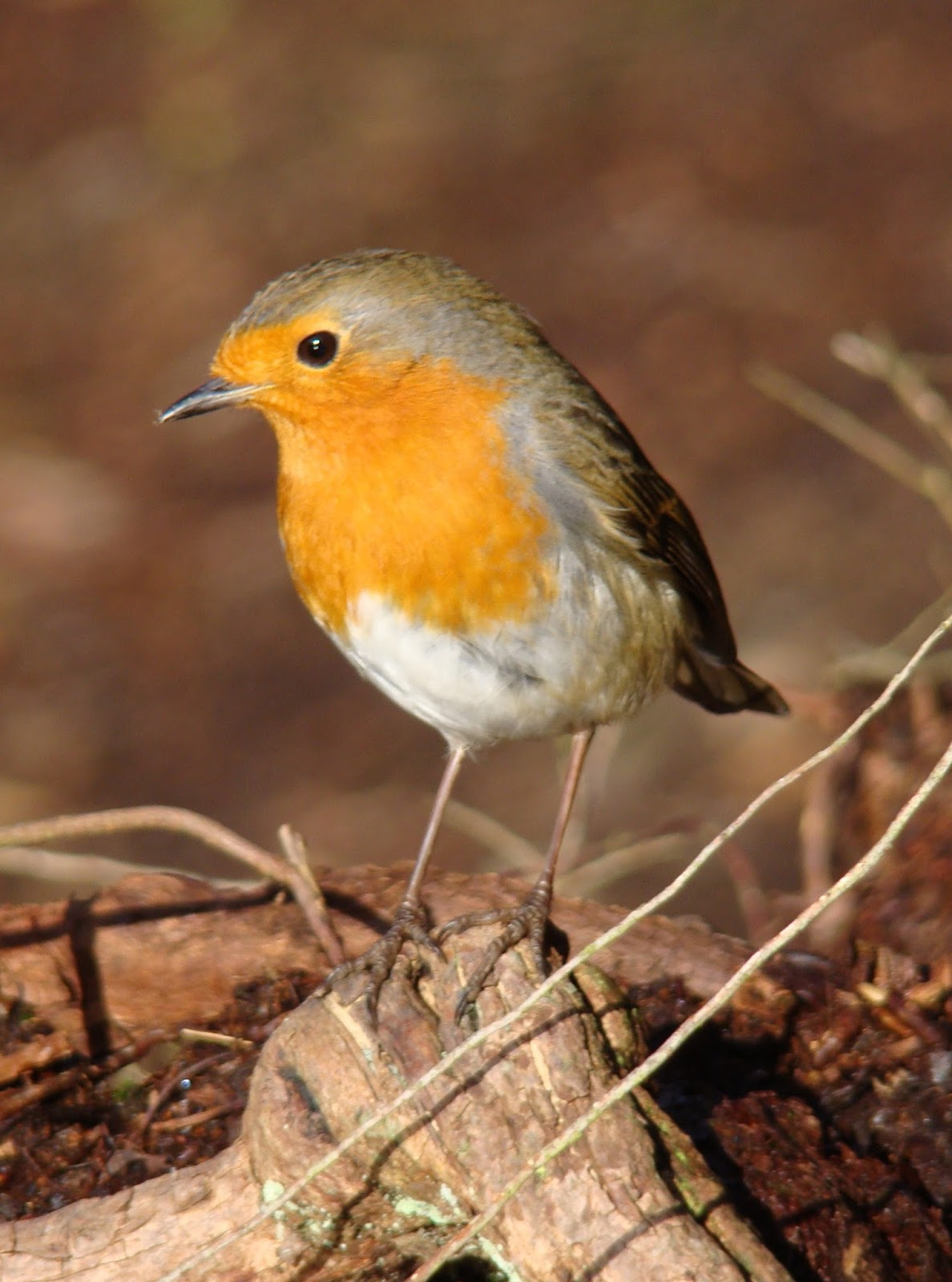 An image of a British robin.