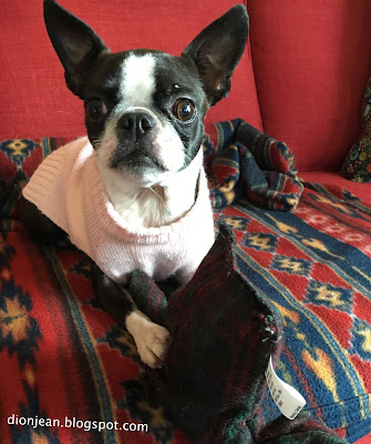 Sinead the Boston terrier with a tumor