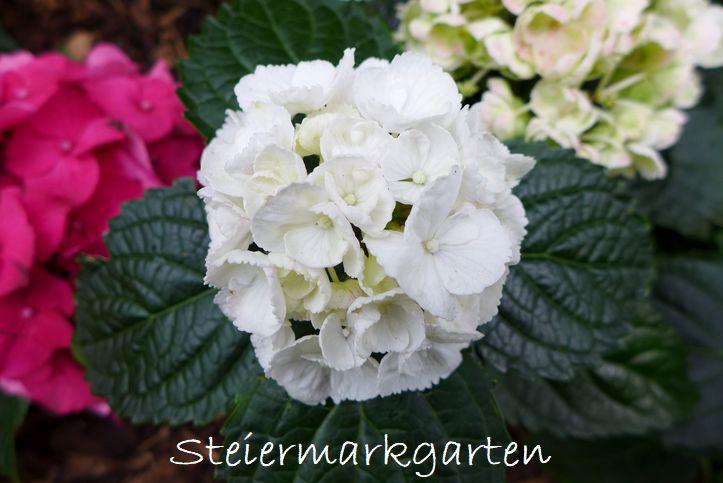 Hortensie-weiß-Steiermarkgarten