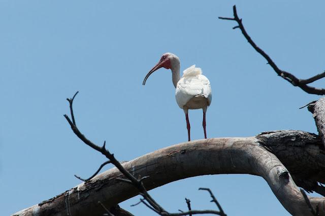 White Ibis, UT Southwestern Rookery
