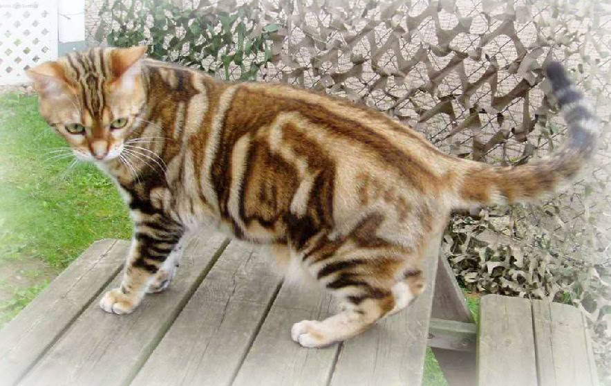 Large Wild Cat Breeds