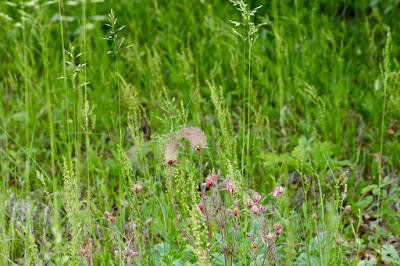 prairie smoke at Carlos Avery Wildlife Management Area