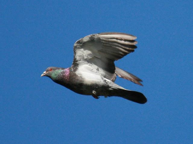 Domestic Pigeon Dinosaur