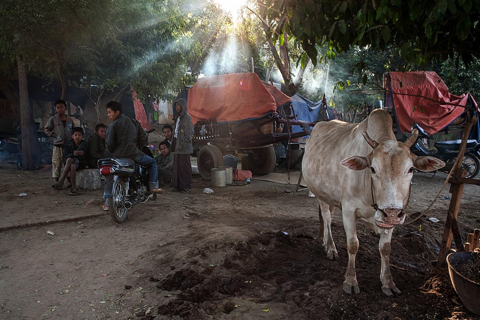 targ,bydło,ludzie,bagan,birma