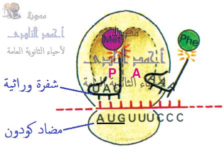 الجين – M.RNA – الشفرة الوراثية - كودون – مضاد الكودون-  الثالث الثانوى