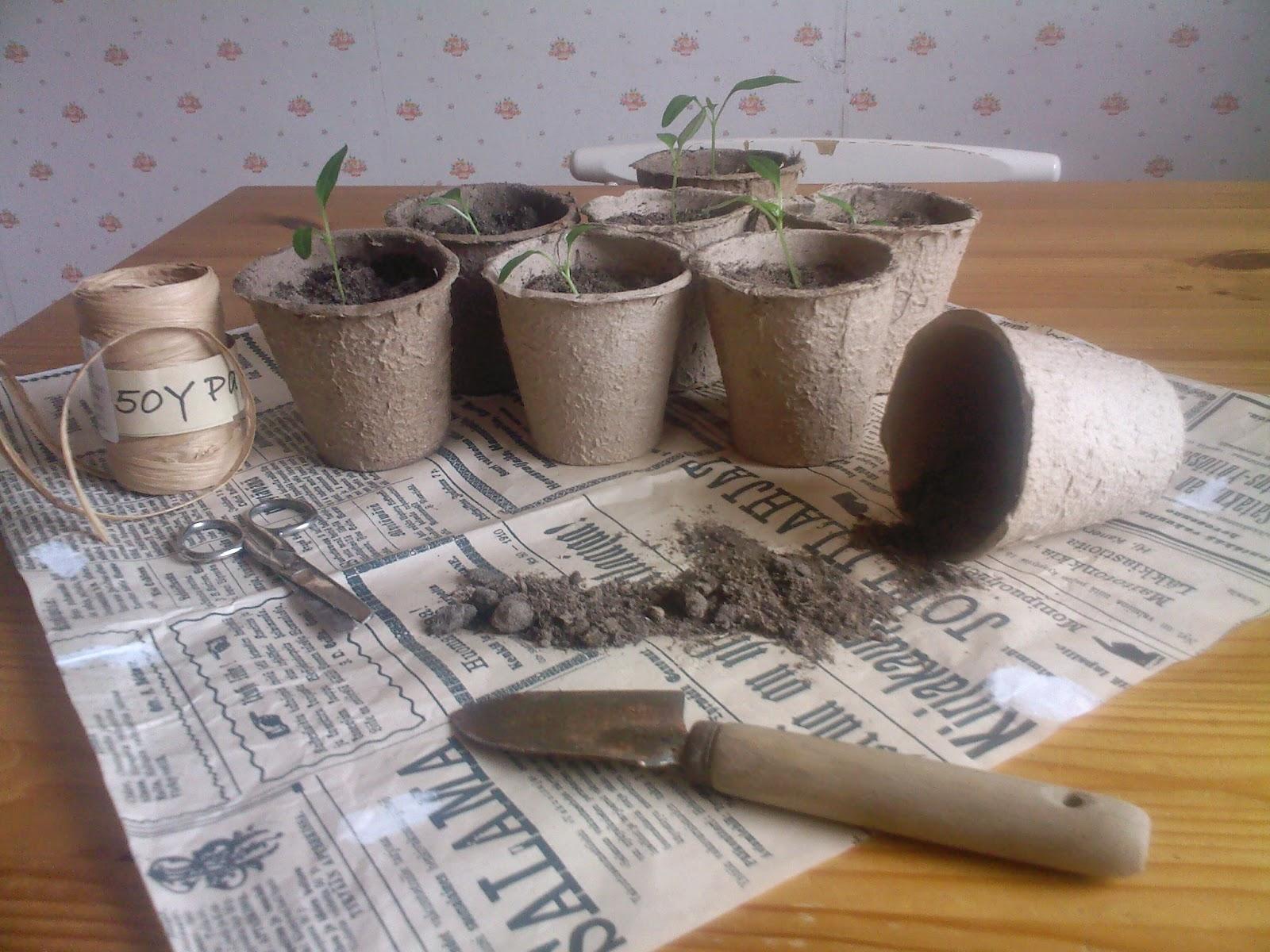 chilin kasvatus, taimet