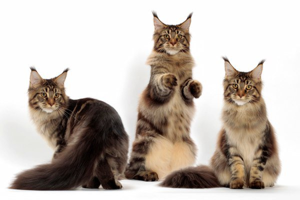CATTERY POPOKILANI: Multiple Maine Coons!