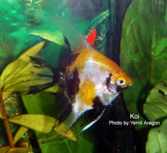 Dunia Ikan Hias - Koi Manfish