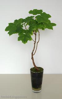 http://fotobabij.blogspot.com/2015/05/klon-zwyczajny-bonsai-w-szklance.html