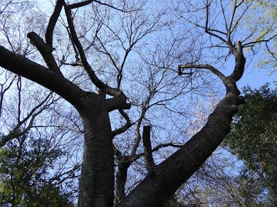 寝屋川公園の桜・お花見ウォーキング 花の道 ヤマザクラ