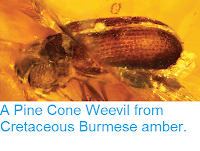http://sciencythoughts.blogspot.co.uk/2014/05/a-pine-cone-weevil-from-cretaceous.html