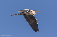 Grey Heron in Flight Woodbridge Island, Cape Town - Canon EOS 7D Mark II Copyright Vernon Chalmers