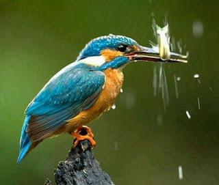 Cara Mengetahui Lokasi Sarang Burung Tengkek Udang Di Habitatnya Di Alam Bebas