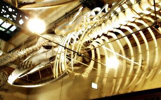 Esqueleto de Baleia, Museo de La Plata, Argentina