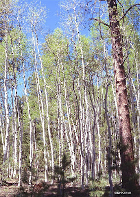 Aspen forest on the approach to Grand Canyon North Rim