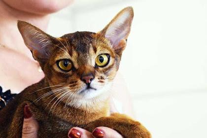 Fakta Kucing Abyssinian, Ras Kucing Piaraan Tertua di Dunia