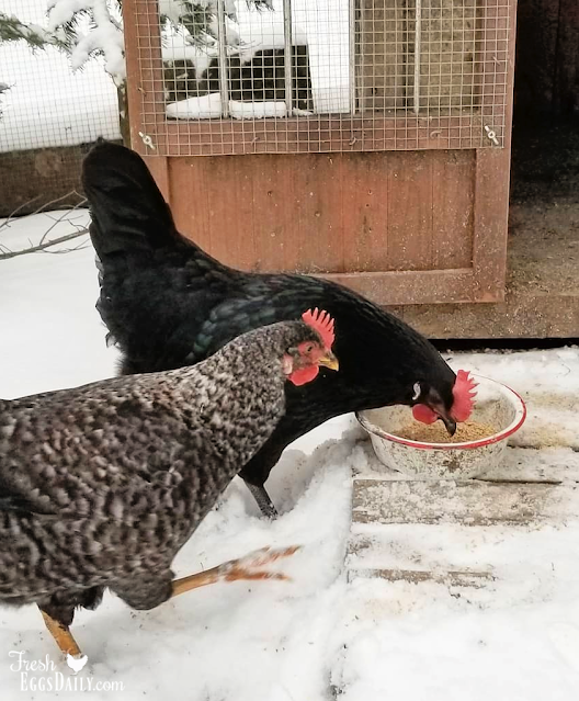 chickens in the snow eating