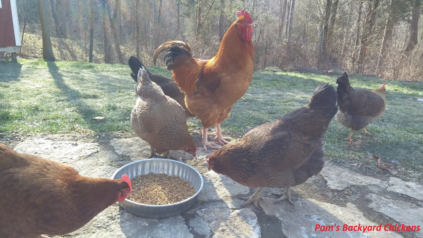 pam u0027s backyard chickens april 2016