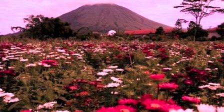 taman bunga di tomohon kebun bunga di tomohon taman bunga tomohon manado