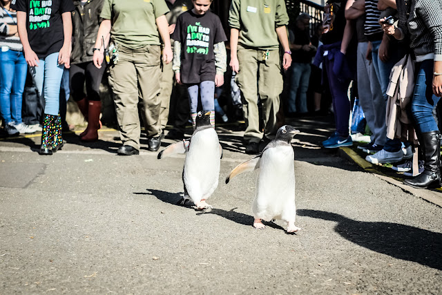 2 penguins walking together through life at Edinburgh zoo, a post about the impossible