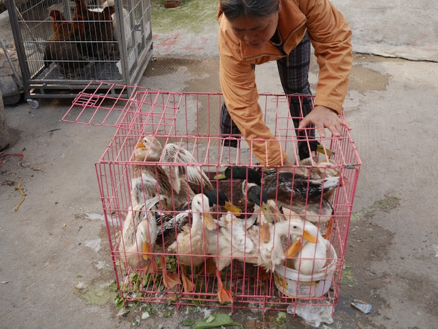 woman reaching into a cage with ducks