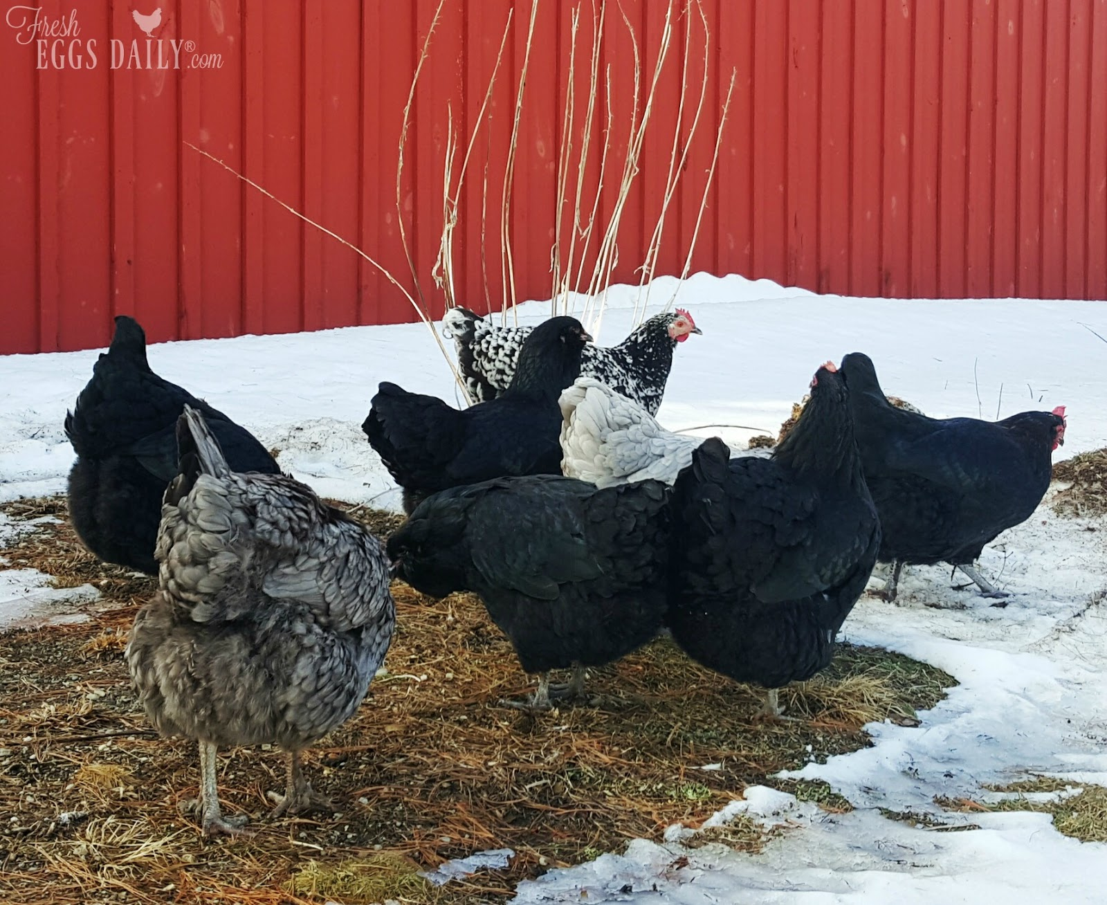how do chickens stay warm in the winter fresh eggs daily