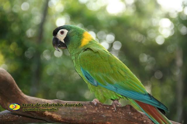 Resultado de imagem para arara-de-colarinho-dourado-primolius.html