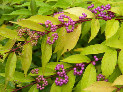 Callicarpa dichotoma 'Early Amethyst' Beautyberry at the Toronto Botanical Garden by garden muses-not another Toronto gardening blog