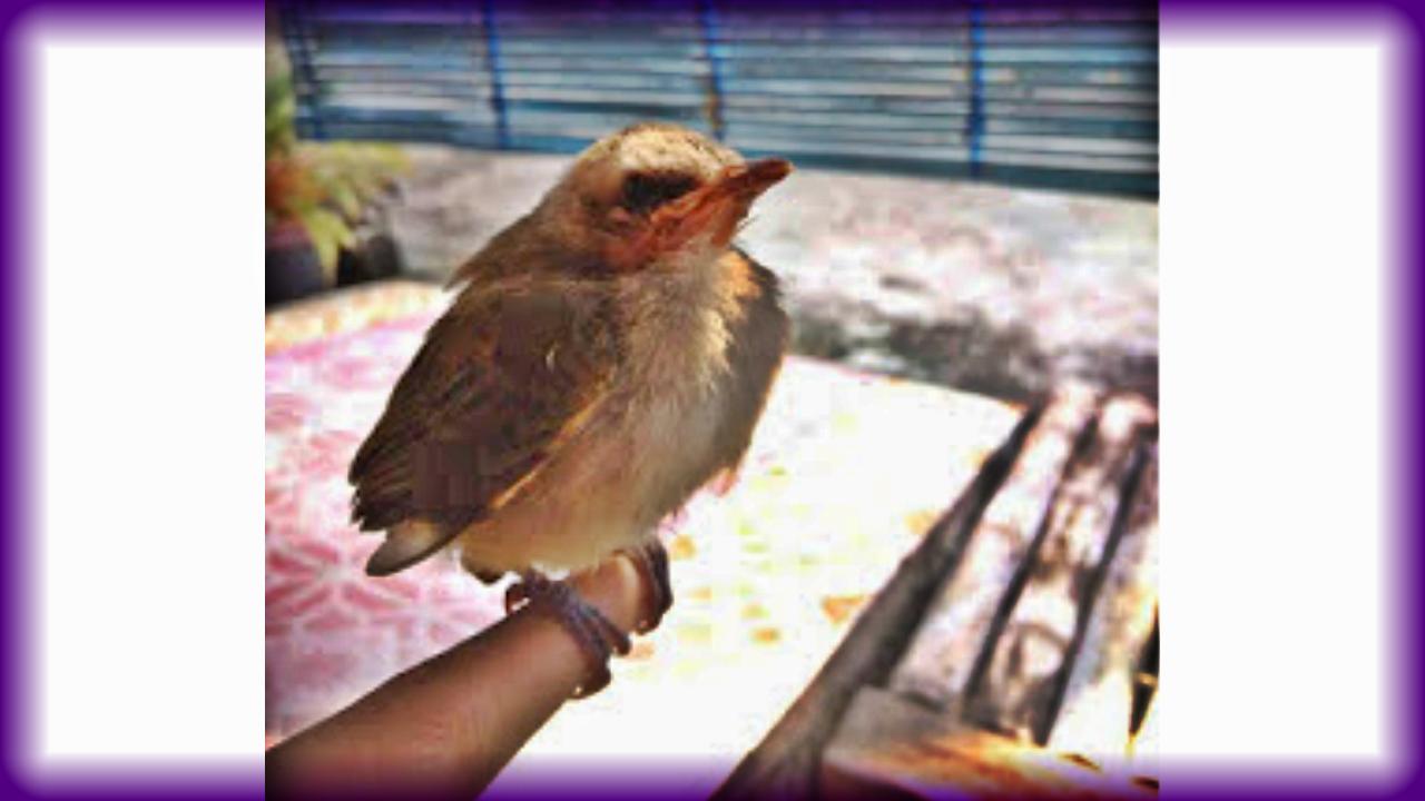 Cara Merawat Burung Trucukan Dengan Baik
