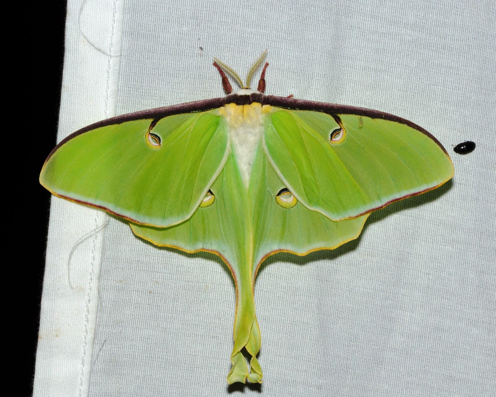 Luna Moth Ohio
