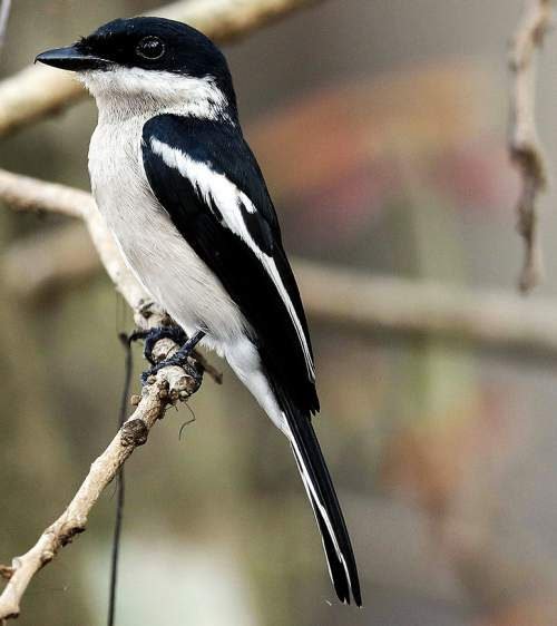 Indian birds - Image of Bar-winged flycatcher-shrike - Hemipus picatus
