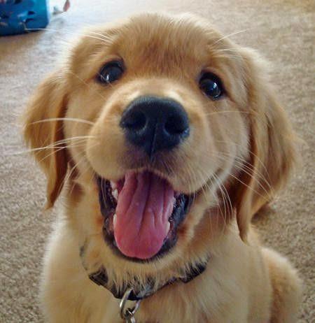 See more Golden Retrievers http://cutepuppyanddog.blogspot.com/