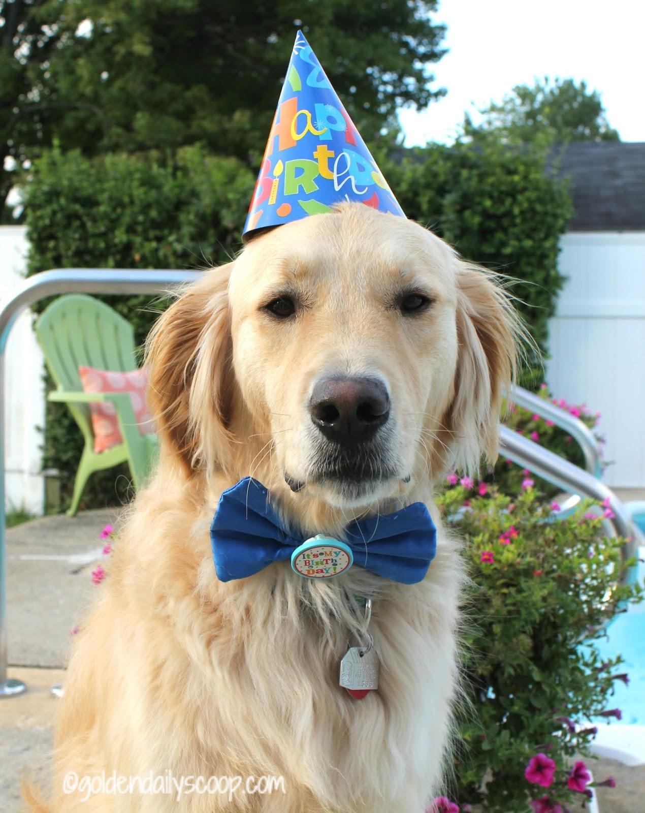 Golden Retriever Dog Wearing Birthday Hat And Bowtie