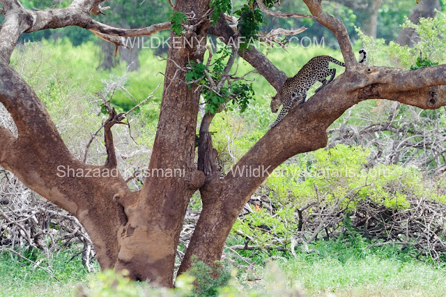 Safaris from Mombasa and Diani Beach, Tsavo East Safari, Tsavo Safari, Wild Kenya Safaris, www.wildkenyasafaris.com,
