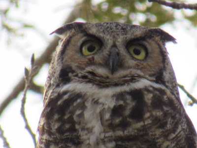 where to see owls in northern california