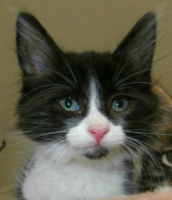 Kitten by www.metaphoricalplatypus.com from flickr (CC-BY)