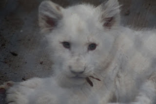 White Lion Cub chews on a leaf.