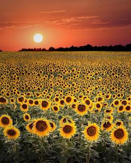 Słonecznik- uprawa, pielęgnacja, wartości odżywcze