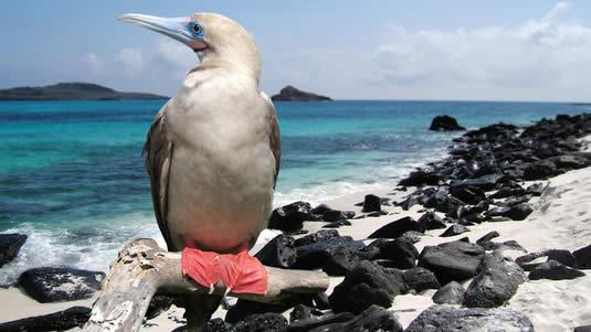 piqueros patas rojas galapagos