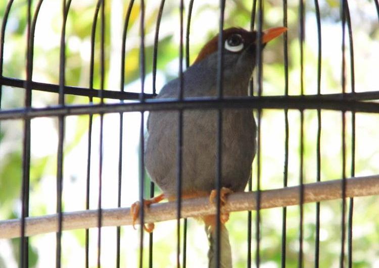 Mp3 Suara Burung Poksay Mandarin, Hongkong dan Jambul