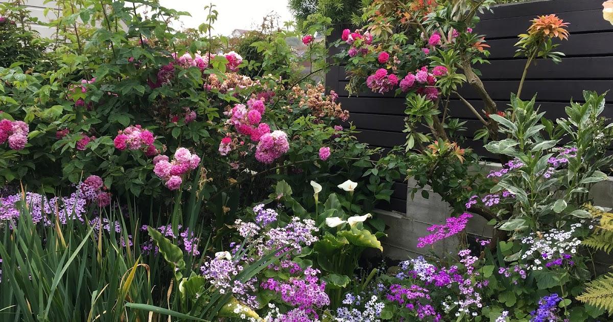 Mug Mike S Urban Garden Plant Profile Pericallis X Hybrida