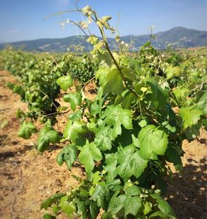 camino-santiago-uvas-mencia-bierzo