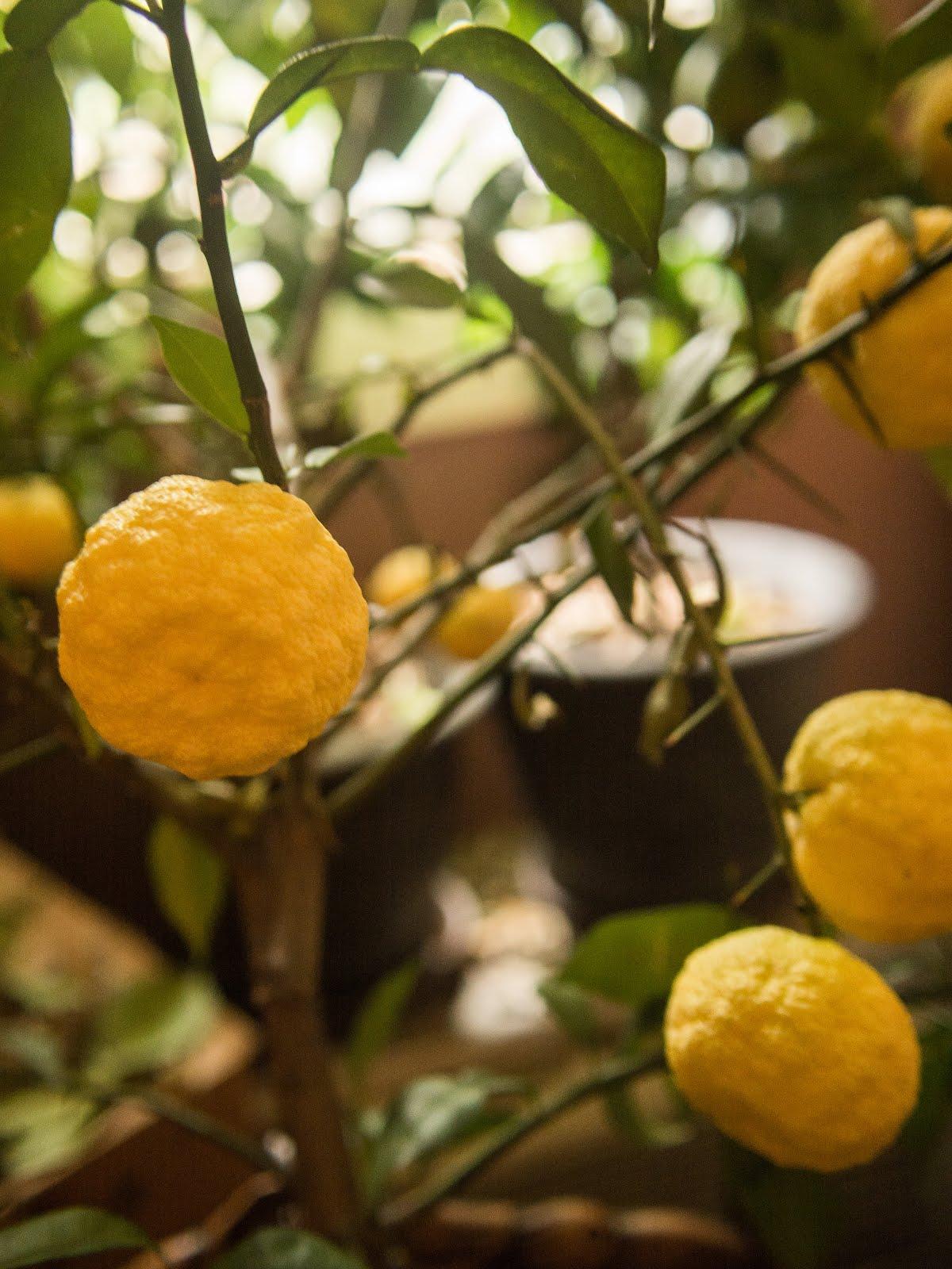 Citrus Enthusiast: In Season: YUZU!