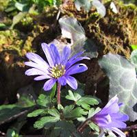 Spring Flower Blue