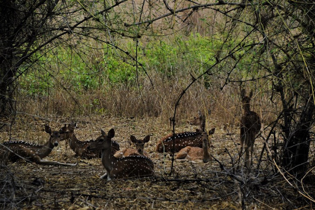 deer safari Bandhavgarh National Park and Tiger Reserve