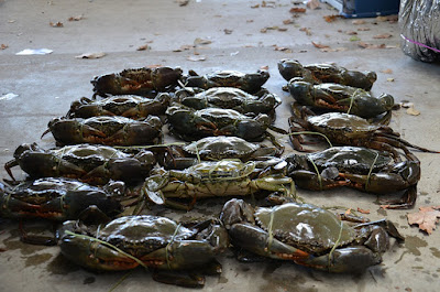 Trusted Live Mud Crab Exporter with High Quality