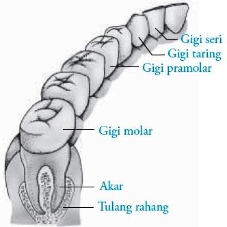 susunan gigi dewasa dengan susunan gigi balita Jelaskan