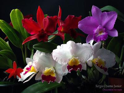 Orquídeas floridas no apê